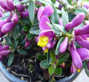 Polygala chamaebuxus 'Grandiflora'