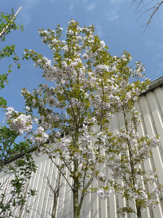 Prunus serrulata 'Sunset Boulevard'