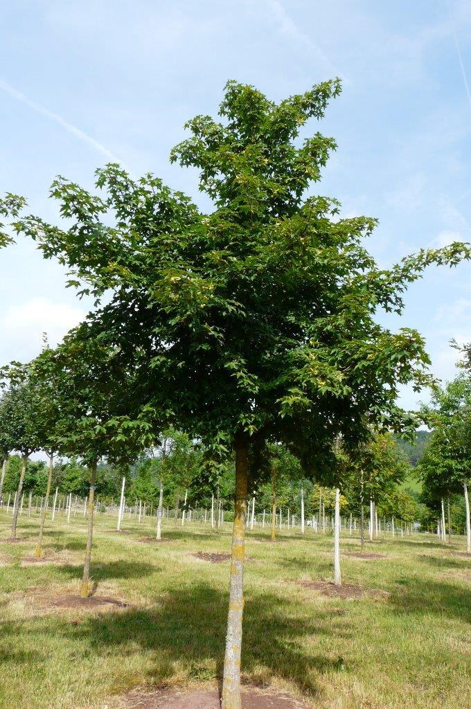 Acer x neglectum 'Annae'