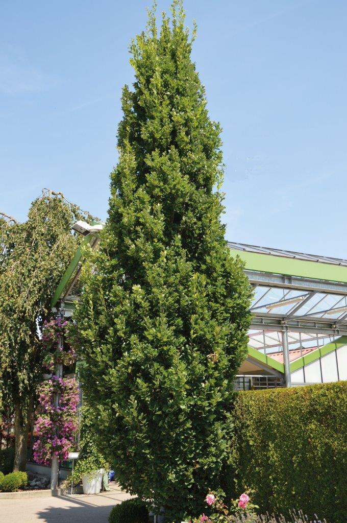 Quercus Fastigiata Koster