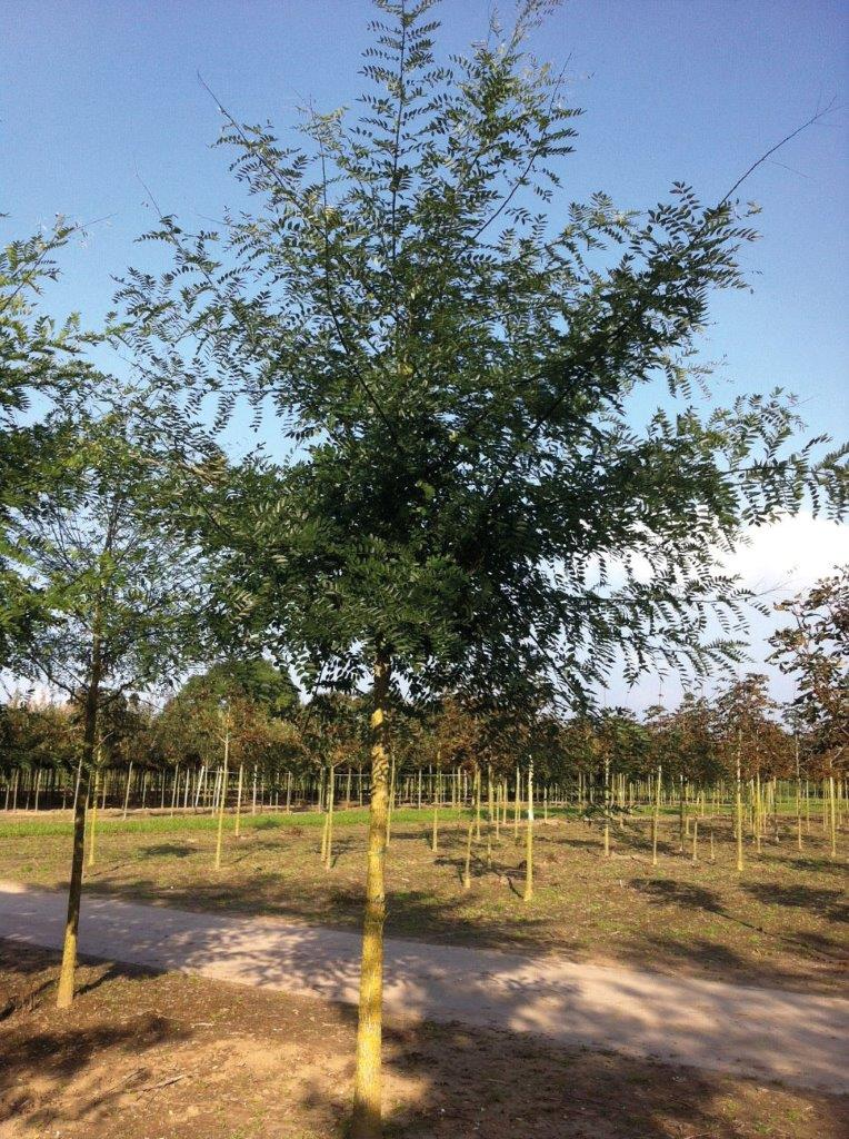 Sophora japonica 'Regent'