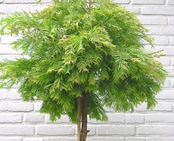 Metasequoia glyptostroboides 'Matthaei'