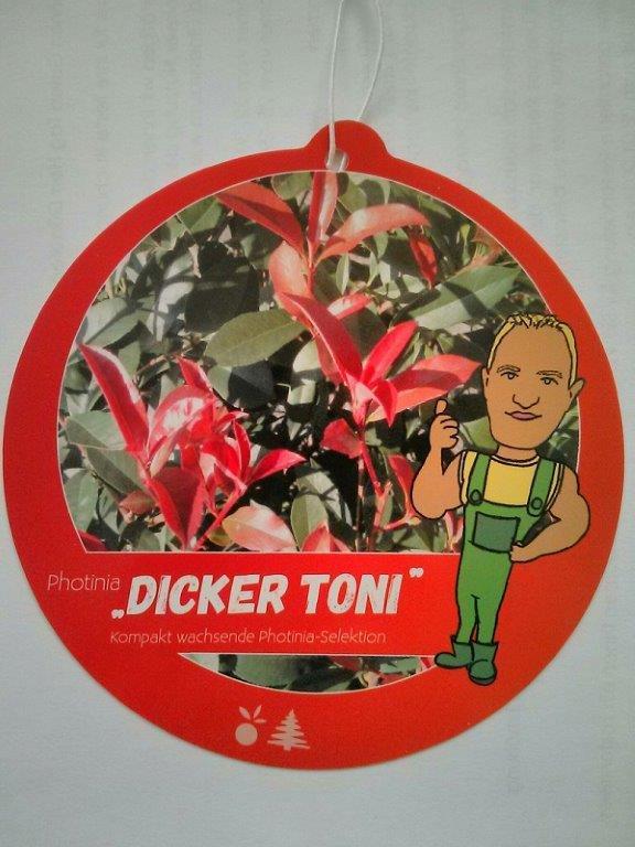 2 Photinia fraseri 'Dicker Toni'