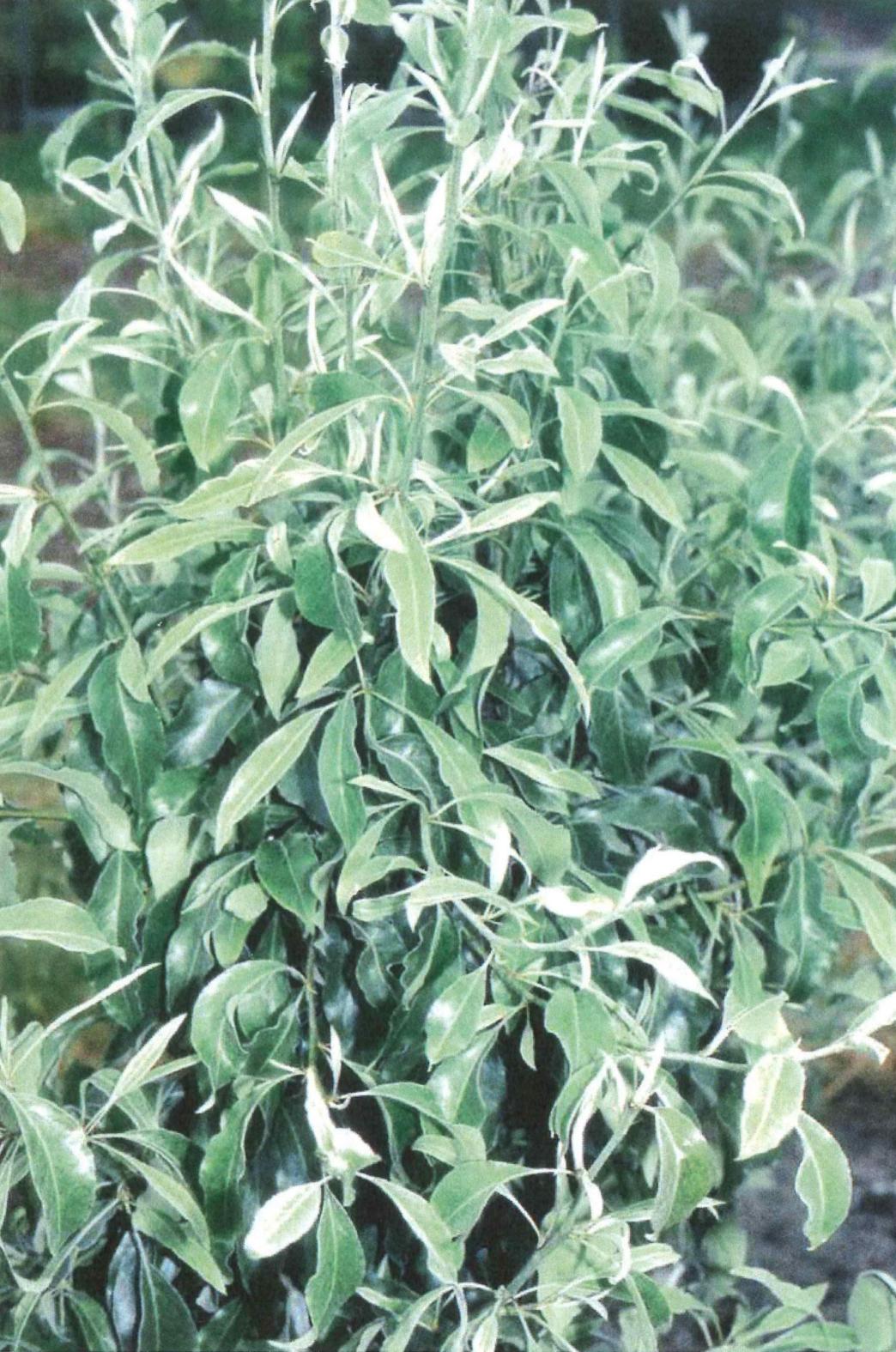 Pyrus elaeagnifolia 'Silver Sails' Ölweidenbirne 'Silver Sails'